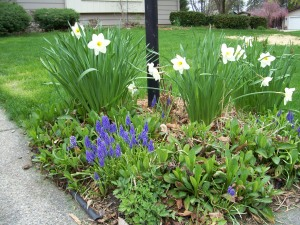 Daffodils and Muscari